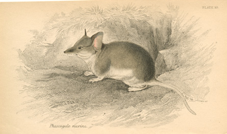 Phascogale murina, known as Dunnart. Lizars engraving c1841
