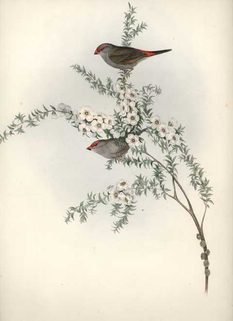 Australian Red-Eyebrowed Finch. John Gould Estrelda temporalis c1848.