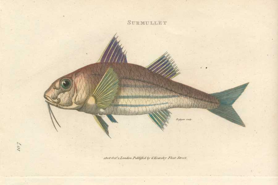 Fish. Wonderful engraving of a Surmullet by George Shaw c1804
