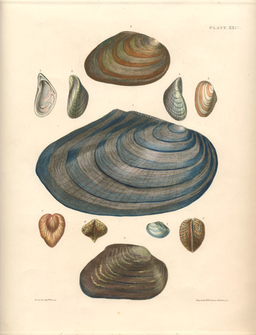 Lovely antique print of Shells. Captain Thomas Brown c1845.