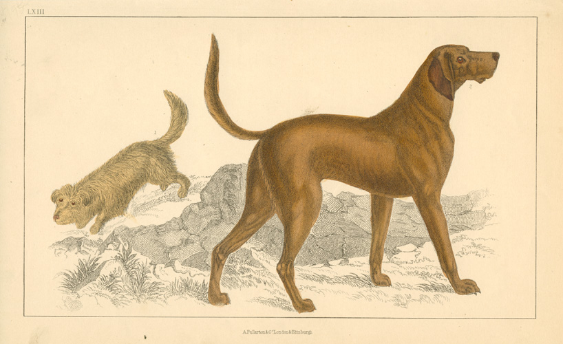 Superb portrait of a Great Dane.. with mutt(?) engraved c1852.