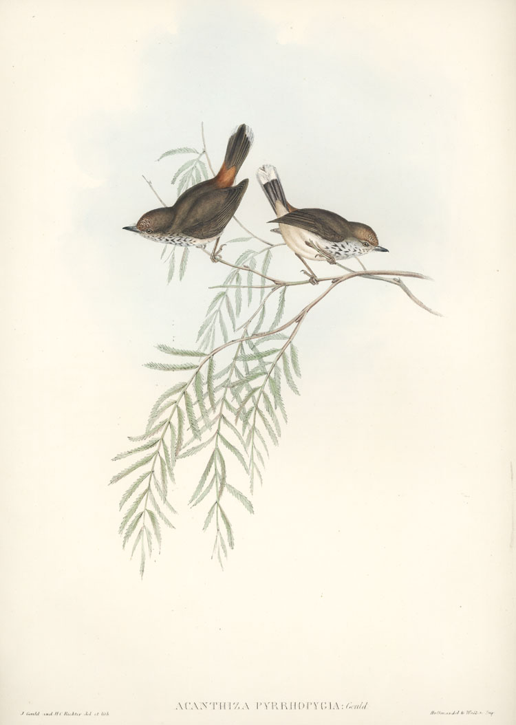 Australian Red-rumped Thornbill, Acanthiza pyrrhopygia John Gould lithograph c1848