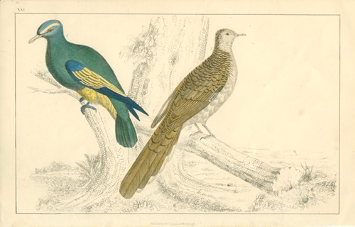 Hand-coloured engraving of Pigeons. Oliver Goldsmith c1850.