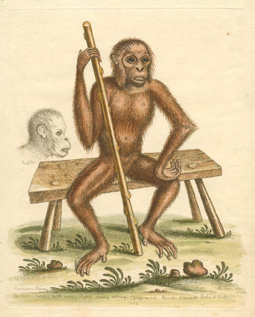 George Edwards Orangutan antique print. Orang-autang, Chimp-anzee engraving c1757.