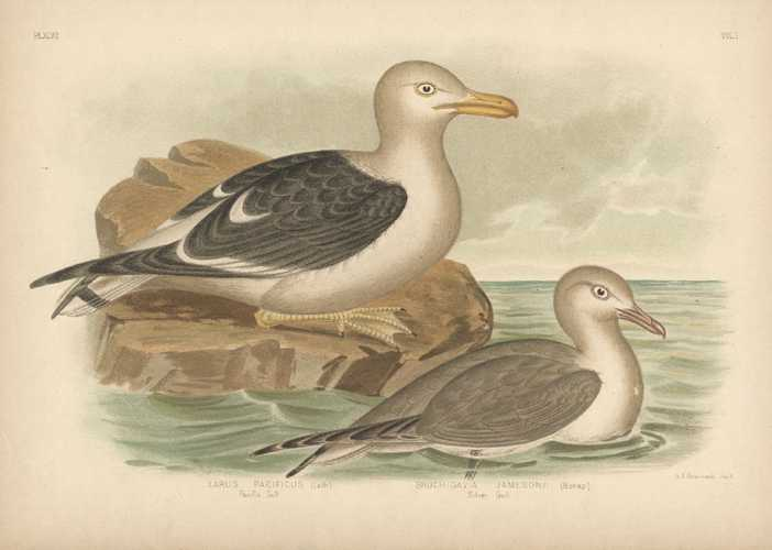 Broinowski Pacific Gull and Silver Gull. Australian bird lithograph c1890.