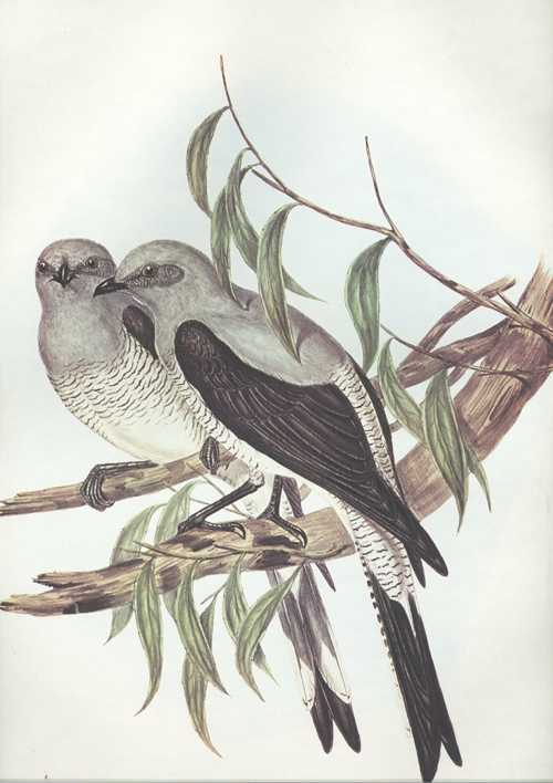 John Gould Pteropodocys Phasianella Ground Cuckoo, Australian bird print