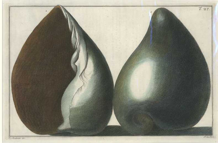 Brilliant Shells hand-coloured engraving from Gualtieri's Conchology Treatise c1742.