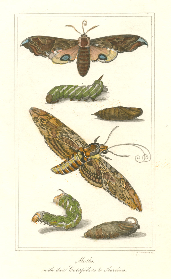 Moths with their Caterpillars & Aurelias. Engraved for Tegg c1822.