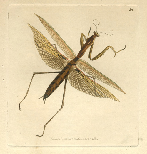 Australian Preying Mantis, New Holland Mantis Nodder engraving c1814.