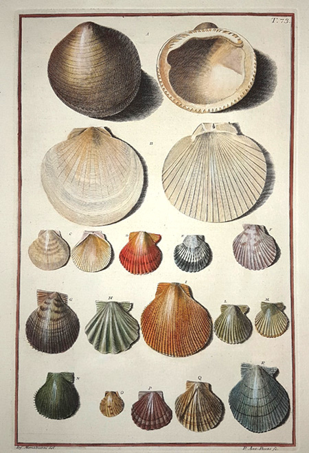 Early copperplate engraving of fan-shaped shells. Gualtieri c1742.