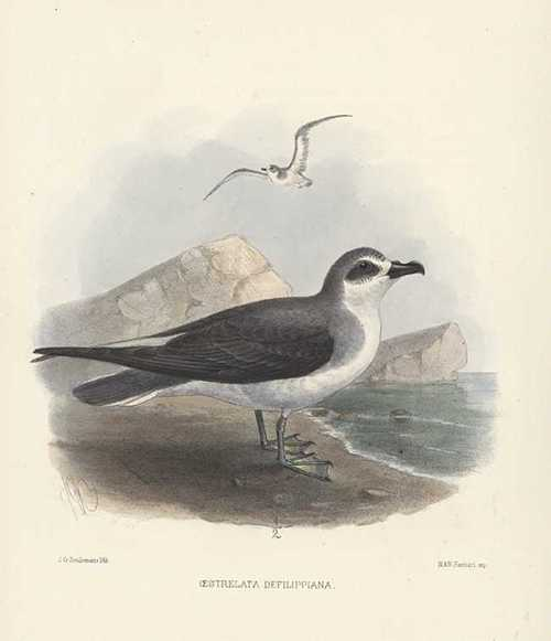 Keulemans hand-coloured lithograph. Oestrelata Defilippiana Petrels. c1875