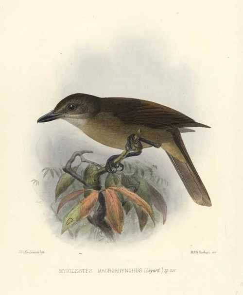 Keulemans Yellow-throated Whistler, Myiolestes Macrorhynchus. Hand-coloured lithograph c1875