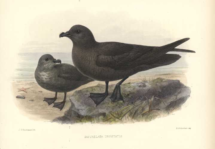 Keulemans Petrels hand-coloured lithograph. Oestrelata Trinitatis Petrels antique print c1875