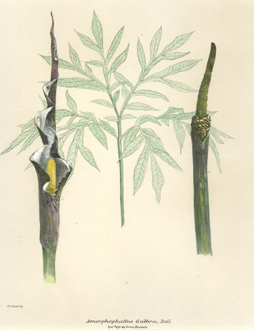 Flora of Queensland, Amorphophallus Galbra antique lithograph c1900