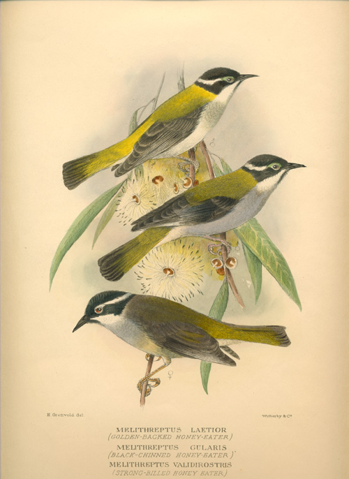 Australian Honeyeater antique print. Hand-coloured lithograph of Melithreptus by Mathews, c1910-27.