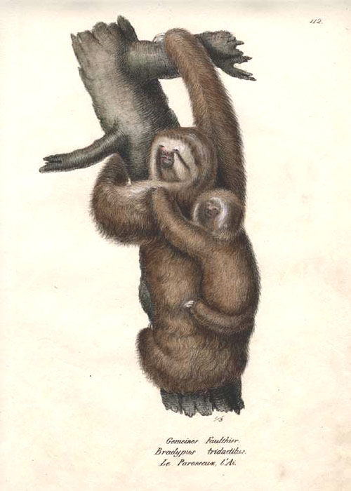 Joseph Brodtmann pair of pale-throated sloths. Lithograph c1827