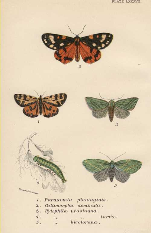 Lepidoptera. Parasemia, Callimorpha and Hylophila Moths lithograph c1897.