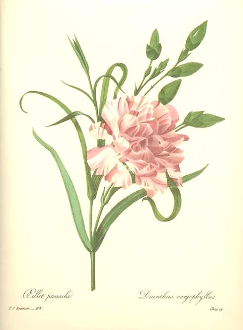 Redoute botanical illustration Dianthus Caryophyllus. Pink Carnation