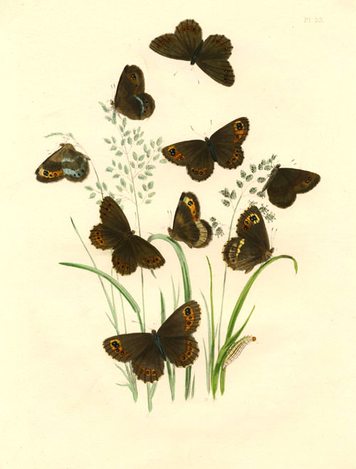 Butterflies Transformations. Oreina Ligea (Arran Brown Butterfly). Humphreys.