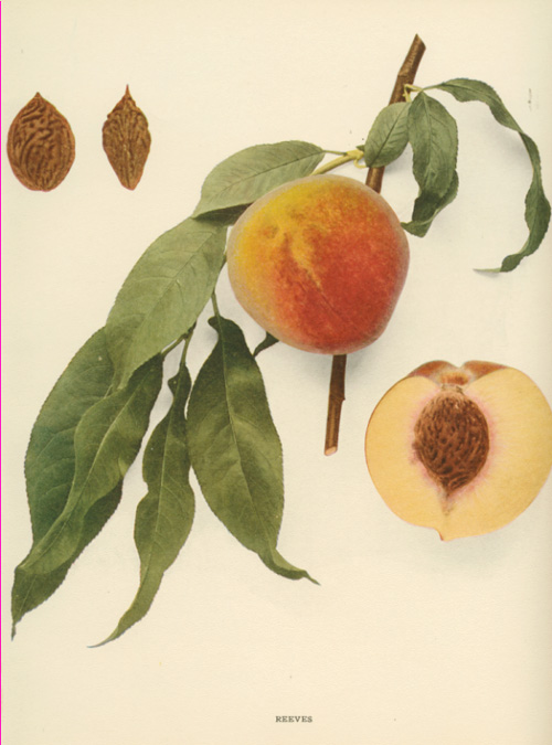 Reeves Peach, beautiful print, half-price. Hedrick c1917