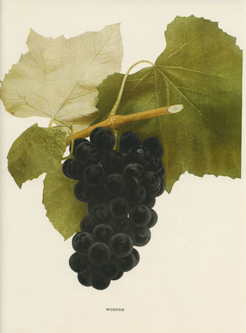 Worden black grapes and foliage. Hendrick lithograph c1908.