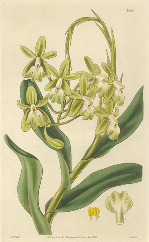 Epidendrum Harrisoniae (Mrs Harrison's Orchid) Curtis engraving c1833.