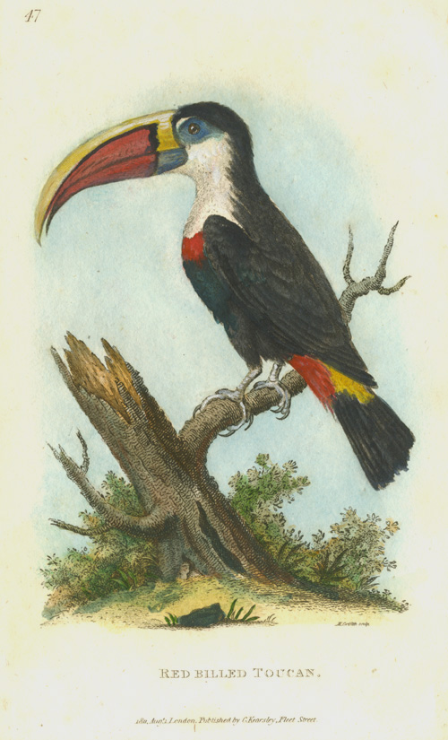 Red-billed Toucan engraving. George Shaw c1811.
