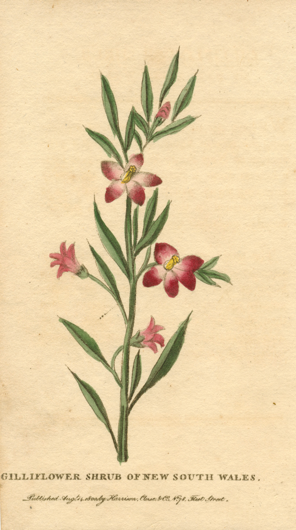 Gilliflower Shrub of New South Wales c1800. Harrison, Cluse & Co.