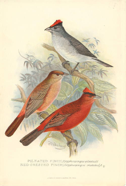 Pileated Finch & Red-crested Finch antique print. Frohawk c1896.