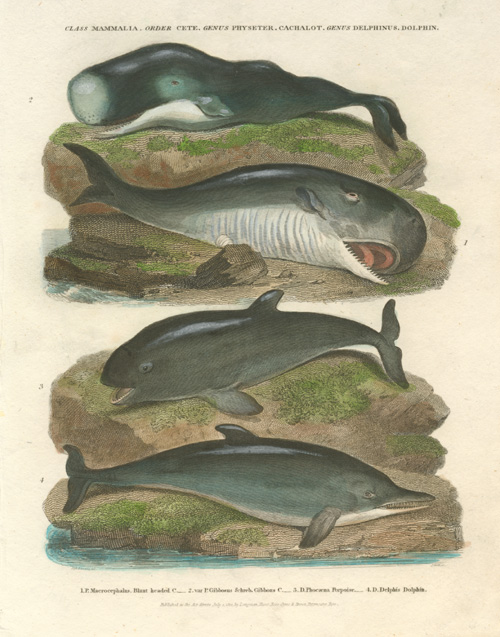 Whales. Blunt-headed Whale, Cachelot Whales, Porpoise, Dolphin. Rees c1811