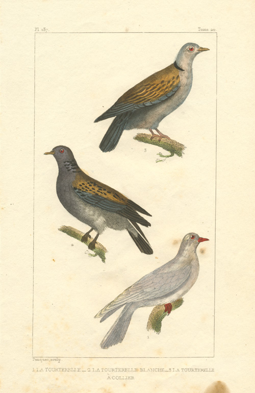 Exquisitely-detailed engraving of Turtledoves: La Tourterelle. Pauquet c1833.