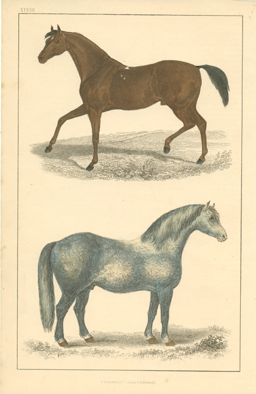 Fine horses antique print from Goldsmith's 'Animated Nature' c1852.