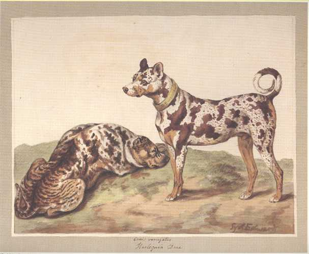 Dog Print: Harlequin Danes. Reproduction after a Sydenham Edwards watercolour