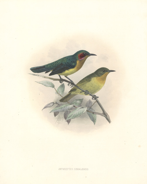Keulemans Ruby-cheeked Sun-bird, Anthreptes Singalensis or A. Phoenicotis