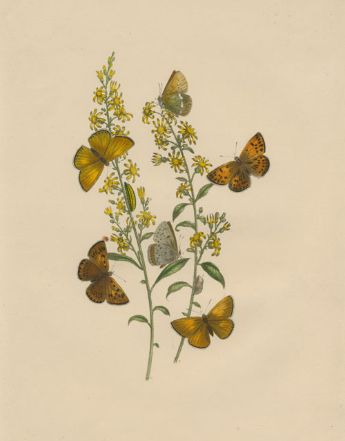 Butterflies Lifecycle, with Caterpillars, Chrysalises, Plants. Aquatint c1849