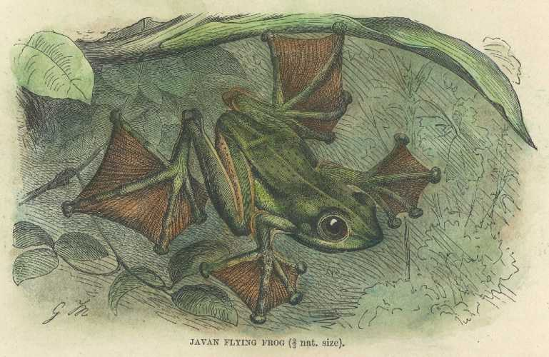 Frog. Wonderful engraving of a Javan Flying Frog. Antique Print c1894