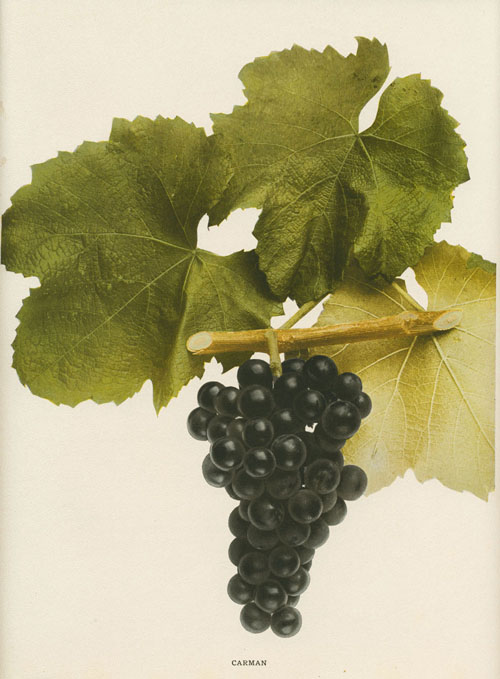 Carman black grapes. Hendrick Grapes lithograph