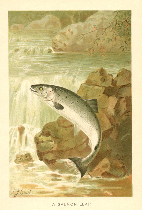 A Salmon Leap antique print by PJ Smit c1894.