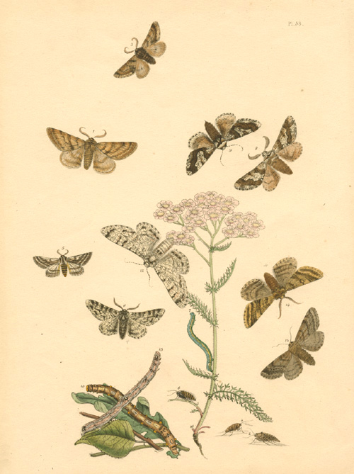 Humphreys, Transformation of Moths. Hand-coloured lithograph c1849.