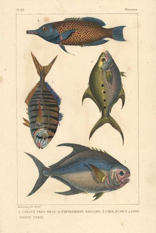 Tropical Fish. Very beautiful Caranx, Baillon.. Poissons engraving c1830