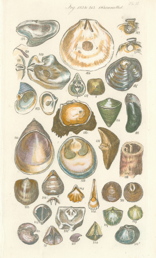 James Sowerby shells, small antique engraving c1822.