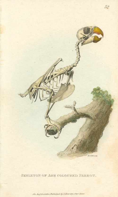 Skeleton of Ash-coloured Parrot. M. Griffith engraving c1811