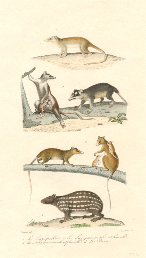 American Opossums. Cayopollin, Sarigue, Marmosa and Paca.