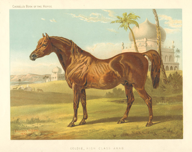 Goldie, High Class Arab. Cassell's Book of the Horse c1874.