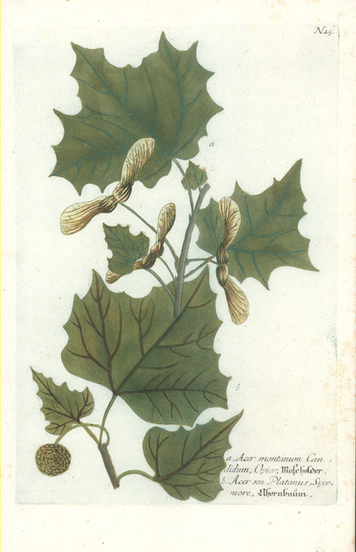 Weinmann, Acer montanum Candidum, Mountain Maple antique print c1740