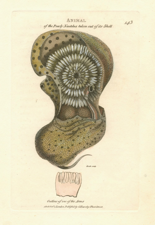 Animal of the Pearly Nautilus.. George Shaw c1808