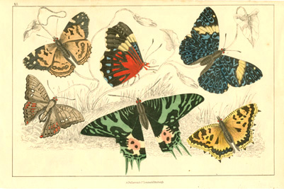 Brightly-coloured Butterflies Plate 40. Oliver Goldsmith c1848.
