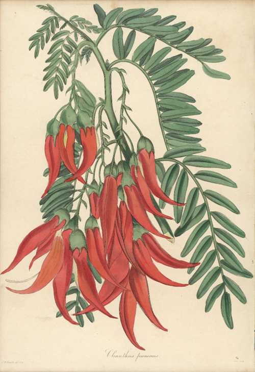 New Zealand Parrot-bill. Crimson Glory Pea Clianthus puniceus antique print c1835