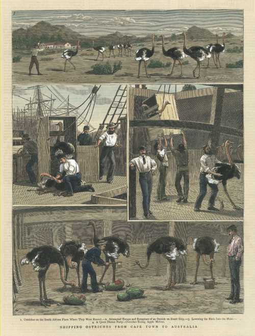Shipping Ostriches from Capetown to Australia. Graphic c1883