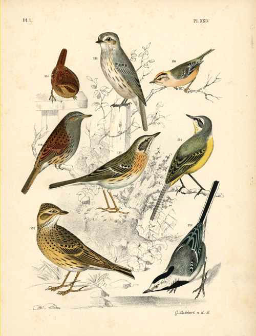 Nuyens. Lubbert lithograph of Birds for A. Nuyens c1886